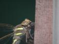 Libelle mit Wespe im Kiefer